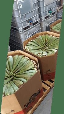 Aloe Vera Farm 03